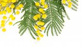 stock photo of mimosa  - Mimosa branch close up - JPG