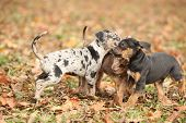 image of catahoula  - Adorable Louisiana Catahoula puppies playing together in autumn