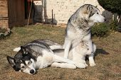 foto of malamute  - Alaskan malamute parents lying with puppies on the garden - JPG