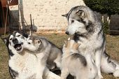 picture of malamute  - Alaskan malamute parents playing with puppies on the garden - JPG
