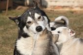 stock photo of malamute  - Alaskan malamute parent playing with puppies on the garden - JPG