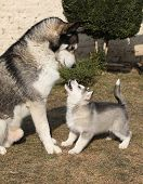 Alaskan Malamute Parent With Puppy
