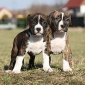 image of american staffordshire terrier  - Two nice little puppies of American Staffordshire Terrier together in exterier