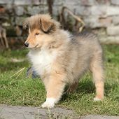 Gorgeous Puppy Of Scotch Collie In The Garden