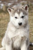 foto of malamute  - Portrait of Alaskan Malamute puppy sitting in springs garden - JPG