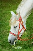 foto of horses eating  - White Horse Eats The Leaves Of Cabbage - JPG