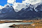 Neverland Patagonia. On coast of lake Pehoe graceful guanaco . Away in the clouds - the cliffs of Lo