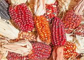 picture of corn-silk  - Decorative corn on the autumn market - JPG