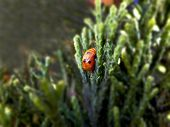 Moulting Ladybird