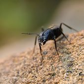 Jaw Ant