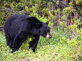 American black bear in the spring