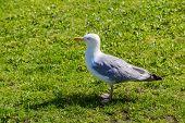 Gull On A Grass