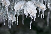 Spruce branches in winter covered with ice and long icicles, closeup