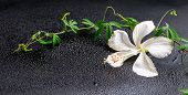 Beautiful Blooming Delicate White Hibiscus, Green Twig With Tendril Passionflower On Black Backgroun