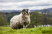 King of the Meadow - Incredible Scottish Sheep