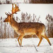 Fallow Deer Male In Winter Snow Field