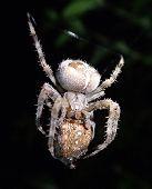 picture of cannibal  - A garden spider eating garden garden spider  - JPG