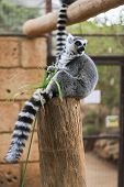 A Ring-tailed Lemur Sits And Looks Around
