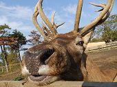 Buck face