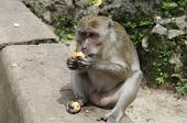 Long-tailed macaque (lat. Macaca mulatta, Old World monkey family) in Wat Suwan Kuha Temple (Phang N
