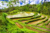 pictorial rice fields in Bali island