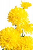 Chrysanthemum. Beautiful Flower On Light Background
