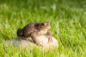 the frog is sitting on a stone in green grass