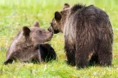 Brown Bear With Cub In Summertime