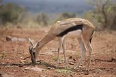 baby thompsons gazelle feeding in Kenya