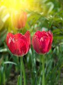 Flowers  Tulips  Red   Petals
