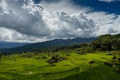 Field with green rice in the highlands of Sulawesi island, Indonesia