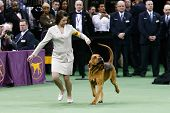NEW YORK-FEB 11: Nathan, a bloodhound, with handler Heather Helmer competes at the 138th Westminster Kennel Club Dog Show at Madison Square Garden on February 11, 2014 in New York City.