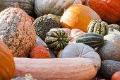 Different Maxima And Pepo Cucurbita Pumpkin Pumpkins From Autumn Harvest