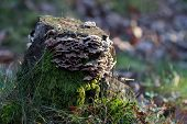 image of shroom  - Tree stump in the forest with mushrooms and moss - JPG