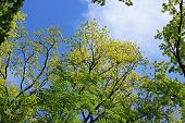 stock photo of photosynthesis  - green foliage on a background of blue sky white clouds - JPG