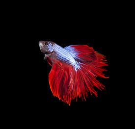 picture of fighter-fish  - thai red betta fighting fish top form isolated on black - JPG