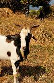 foto of buck  - A buck with sharp horns eats away on the grass fields of Fogo Cape Verde - JPG