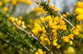 picture of scotch  - Yellow budding and flowering branch of a Scotch broom or Cytisus scoparius in the early spring season.