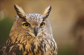 picture of owl eyes  - Owl with yellow eyes and warm background in Spain. Horizontal