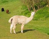 foto of alpaca  - Alpaca South American camelid resembles small llama coat used for wool - JPG