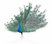 image of indian peafowl  - Beautiful Male Indian  Peacock Isolated On White Background - JPG