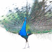 stock photo of indian peafowl  - Beautiful Male Indian  Peacock Isolated On White Background - JPG