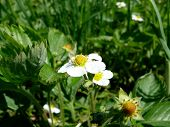 foto of strawberry plant  - blossomed strawberries on a green background bushes and foliage plants - JPG