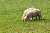 foto of eat grass  - Two Baby Lambs Eating Grass in a Field - JPG