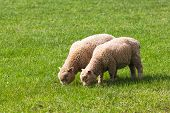 image of eat grass  - Two Baby Lambs Eating Grass in a Field - JPG