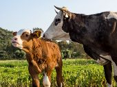 picture of calves  - A cow and her young calf on a green meadow - JPG