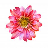 picture of mona lisa  - Bright Mona Lisa flower - JPG