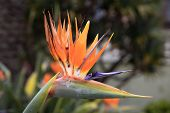 picture of bird paradise  - Bird of paradise, Strelitzia reginae a beautiful tropical perennial plant often called Crane Flower which is found  South African, Canary Islands and Hawaii