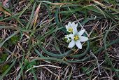 pic of bethlehem  - Flowers Ornithogalum fimbriatum Star of Bethlehem - JPG