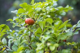 picture of wild-brier  - Wild rose fruits on branch - JPG